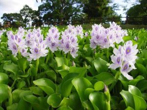 6912f-water_hyacinth_1